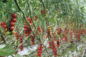 pomodoriciliegini