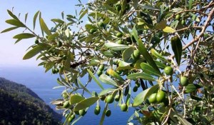 olivetoconmare